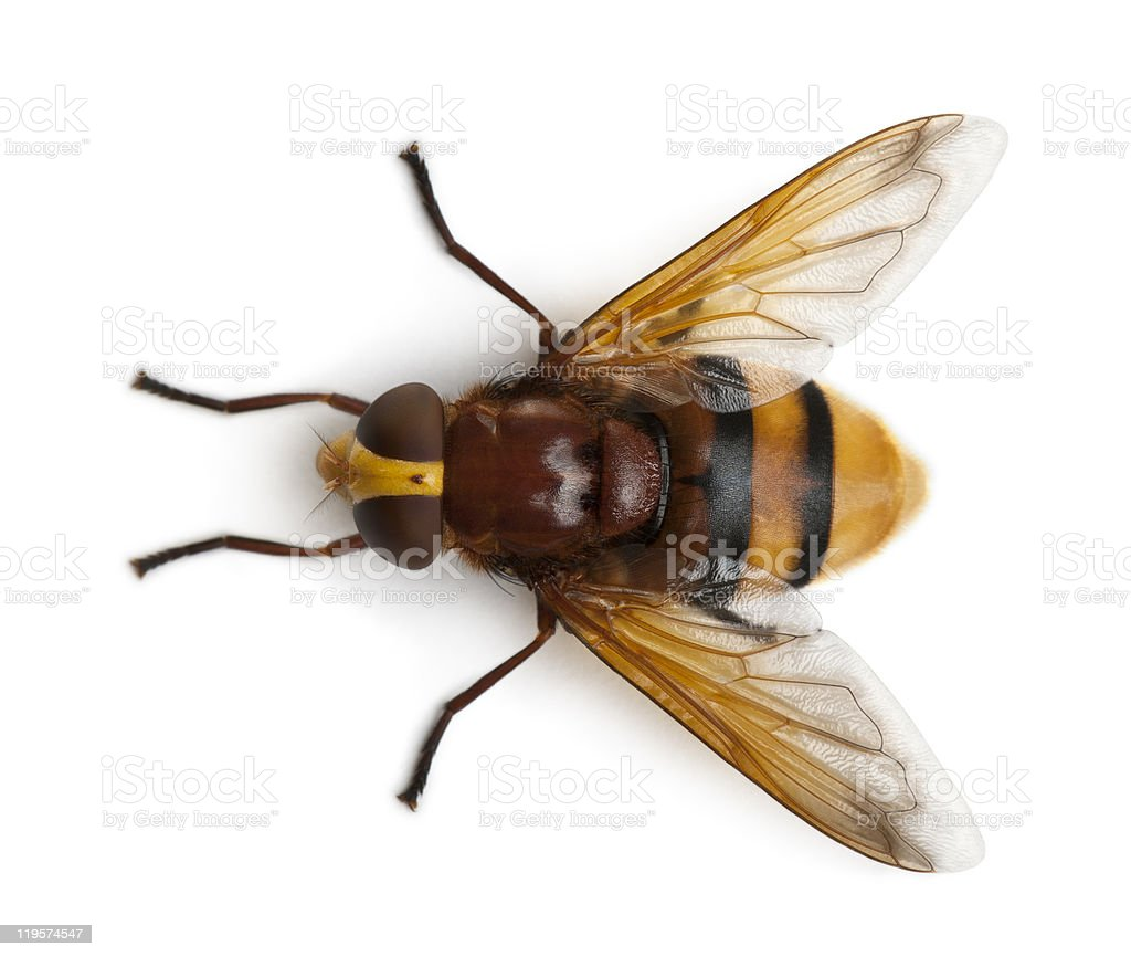 High angle view of Hornet mimic hoverfly, Volucella zonaria. stock photo