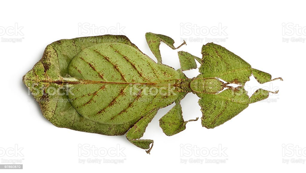 High angle view of Phyllium bioculatum (leaf insect) royalty-free stock photo