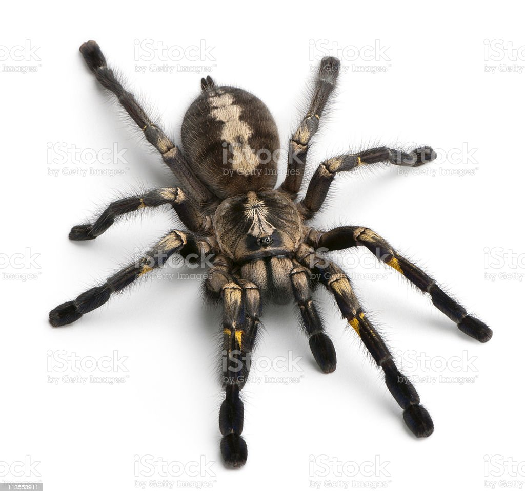 High angle view of Tarantula spider, Poecilotheria Metallica, white background. stock photo