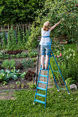 High Angle View Of Woman Harvesting Apples Standing On Ladder