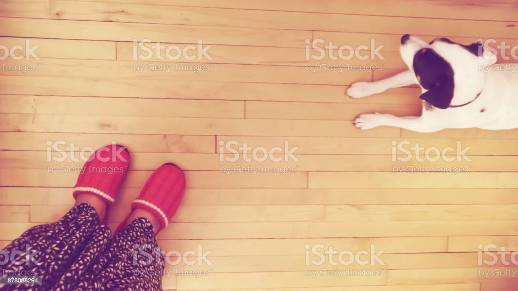 High angle view of woman standing about Little white dog on hardwood floor stock photo