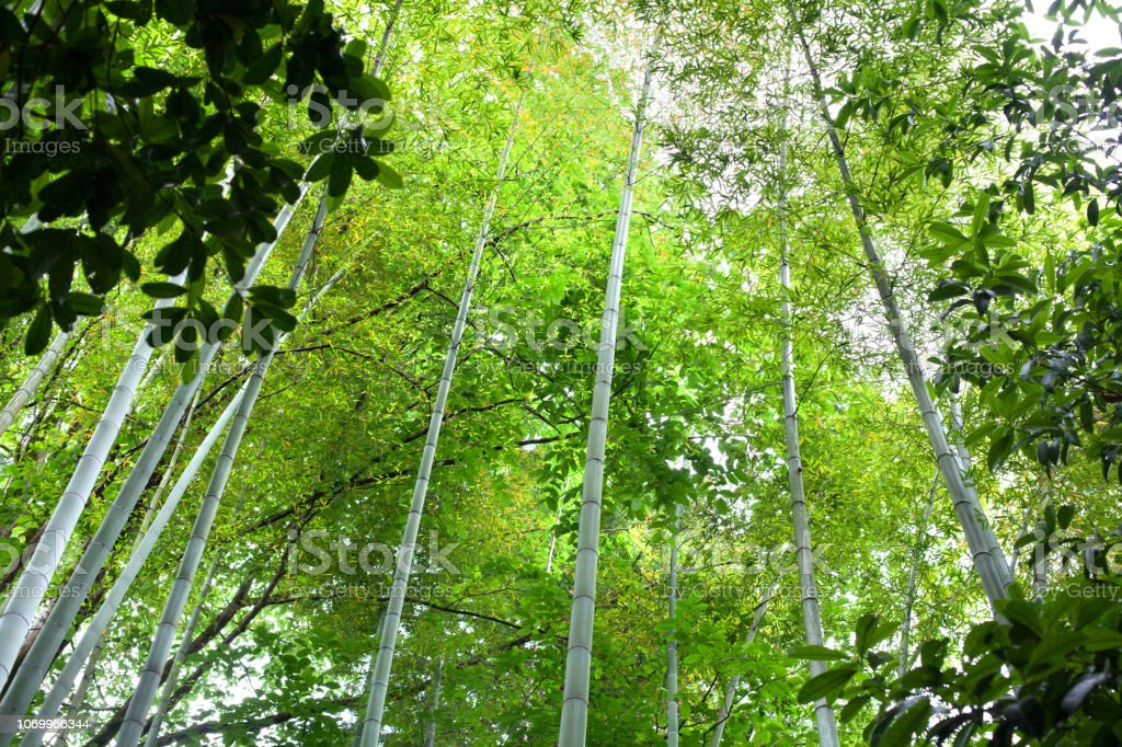High Bamboo Trees In A Green Bamboo Forest Background Texture