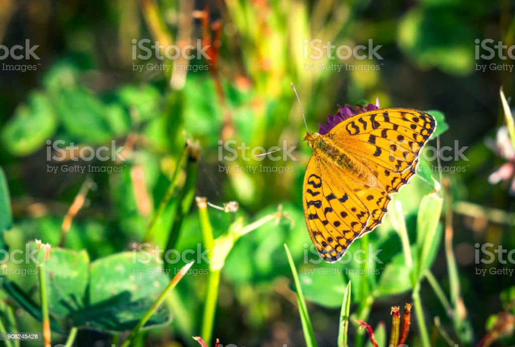 High brown fritillary butterfly (Argynnis adippe) with open wings stock photo