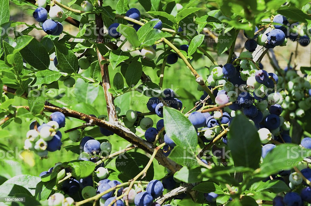 High Bush Blueberries stock photo