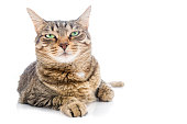 Tabby cat looking at you with suspicious gaze.