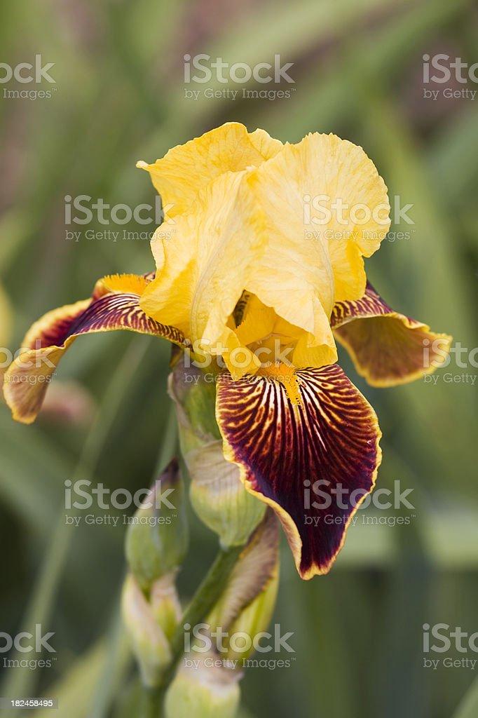 High Command Iris stock photo