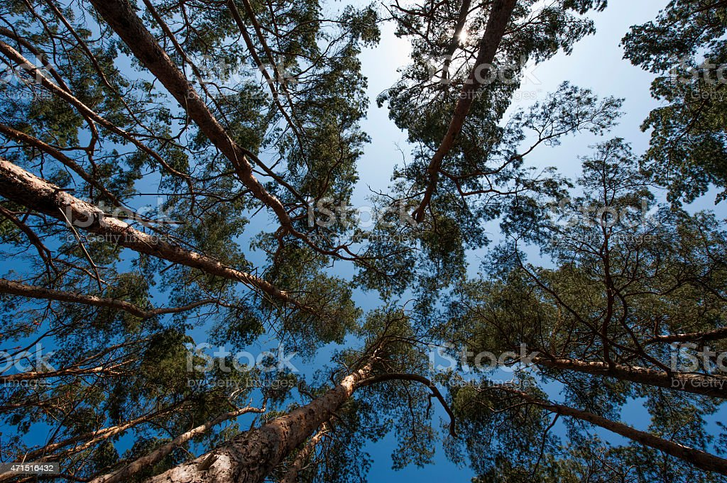 High coniferous forest stock photo