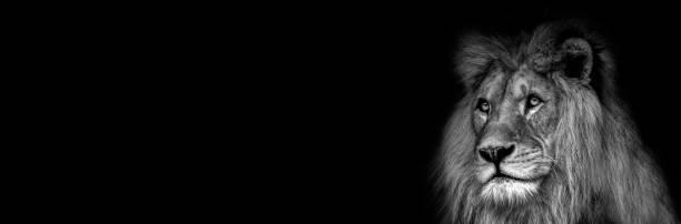 Yüksek karşıtlık siyah ve beyaz bir aslan yüz stok fotoğrafı