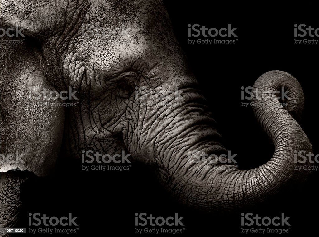 High contrast shot of elephant head with curled trunk stock photo