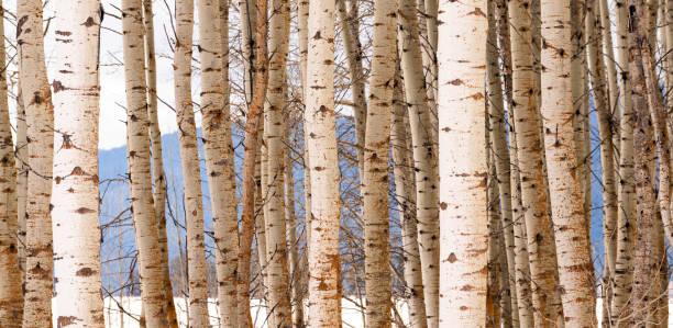 hoher kontrast stehen der bäume nahaufnahme tree bark detail - wäldchen stock-fotos und bilder