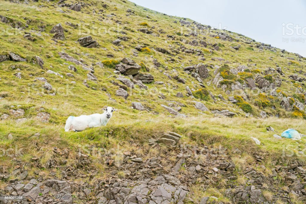 High country farming Slieve Mish Mountains, Ireland royalty-free stock photo