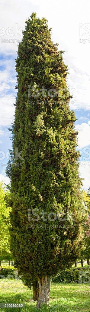 High  Cypress Park - Cipres en Parque stock photo