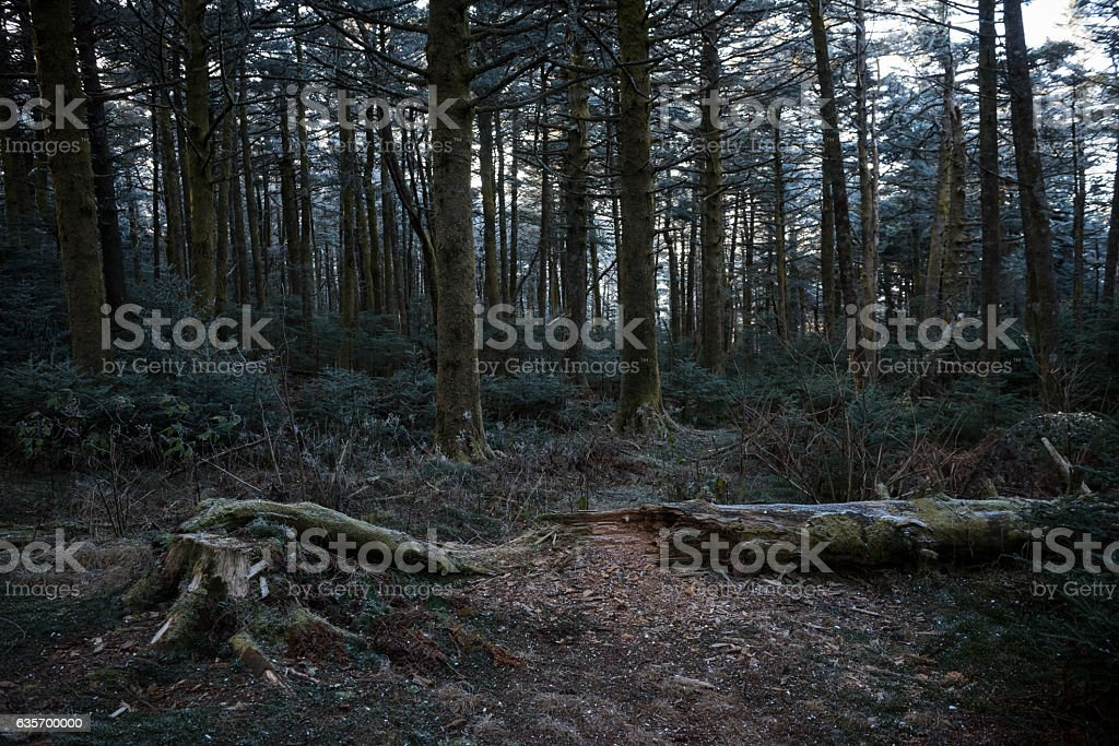 High elevation forest on Roan Mountain royalty-free stock photo