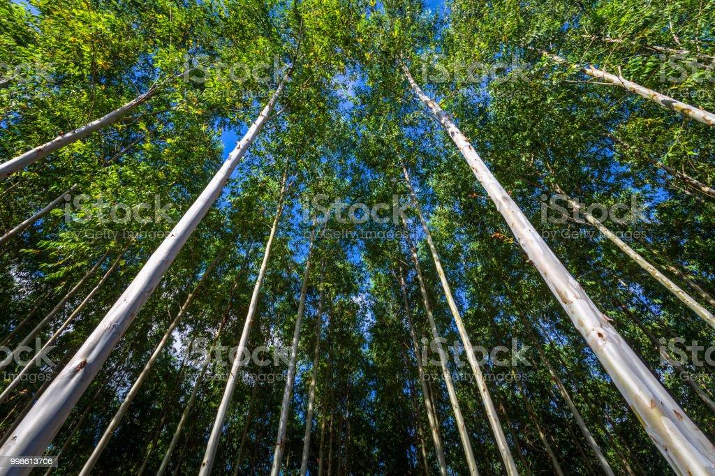 Hohen Eukalyptus-Bäume – Foto