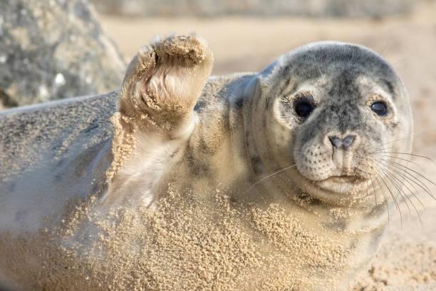 High five cute seal waving hi funny animal meme image picture id1206202039?b=1&k=6&m=1206202039&s=612x612&w=0&h=9xqjvi0kirj2c2vpbblc5vjwb8prbidrwimorv al7e=