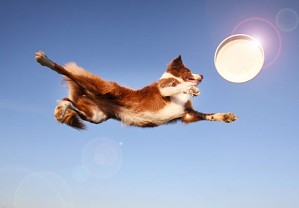 High Flying Disc Dog Red Border Collie. plastic disc stock pictures, royalty-free photos & images