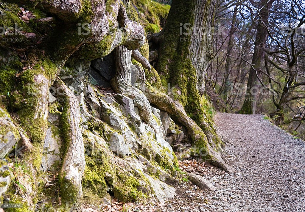 High Force Shoot - Tree roots royalty-free stock photo