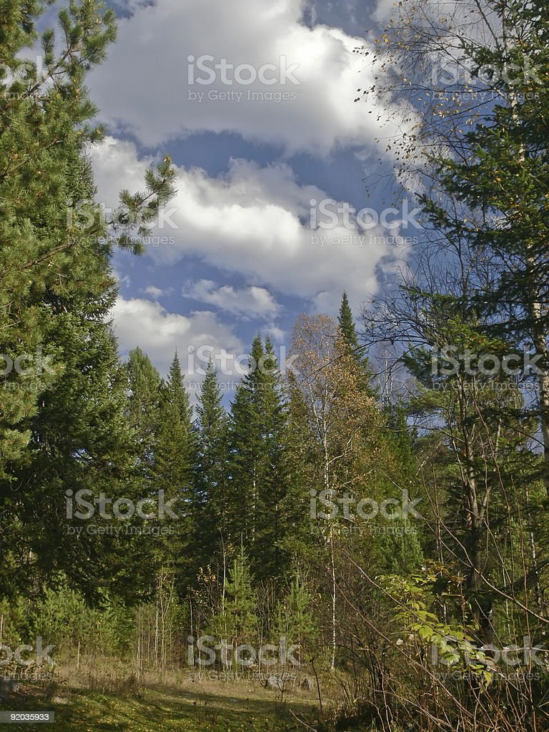 High fur-tree and clouds blue sky. Autumn in taiga. royalty-free stock photo
