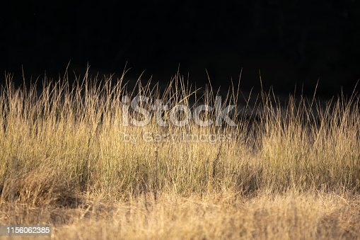 High grass illuminated by the last sun rays just before sunset in Wolgan Valley, Blue Mountains, Australia. Very dark, almost black background.