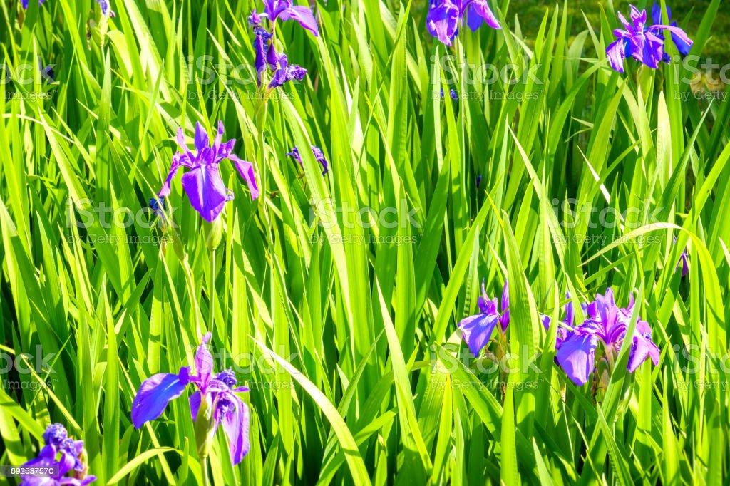 high grass texture purple flowers stock photo