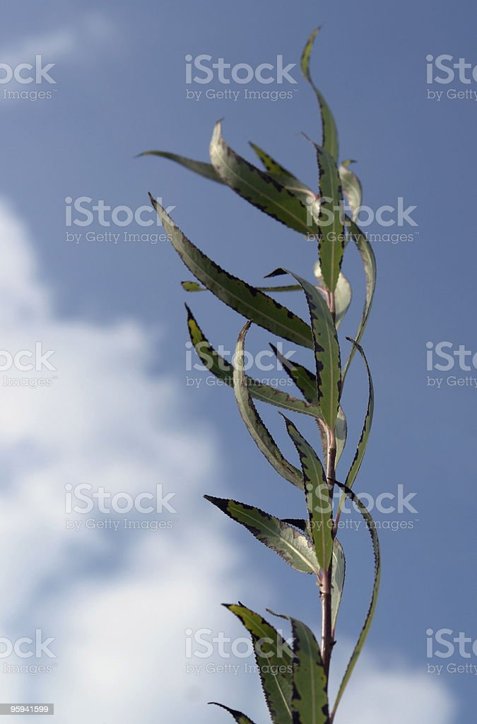 high grown stalk royalty-free stock photo
