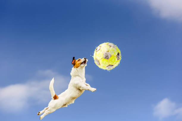 High jumping and flying dog catching yellow football covered with picture id944149330?b=1&k=6&m=944149330&s=612x612&w=0&h=hgzayrcsu4p5g 6f4f646kptwtdptbtbfprmsfknr g=