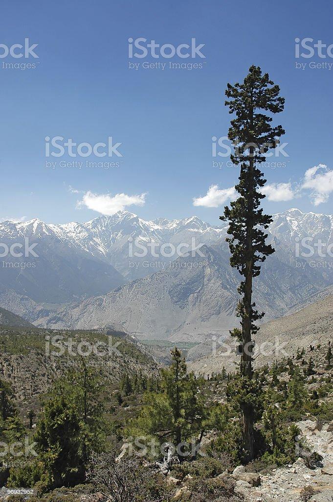 High juniper tree in Himalayan mountains. royalty-free stock photo