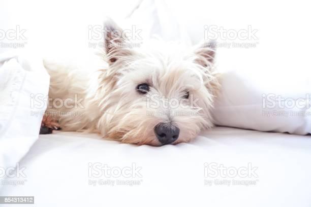 High key image of west highland white terrier westie dog in bed with picture id854313412?b=1&k=6&m=854313412&s=612x612&h= pf3poe0punemsrr9de3z8zk f7yxe3j2fodymdvbgc=
