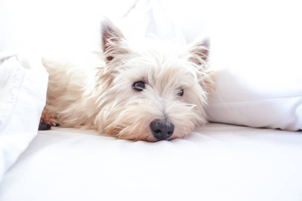 High key image of west highland white terrier westie dog in bed with pillow and sheets stock photo