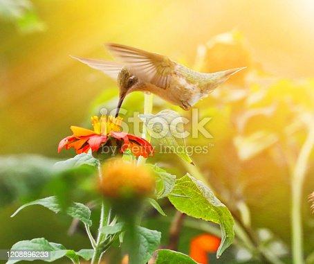 istock High Key photo of Ruby-Throated Hummingbird and Zinnias 1208896233