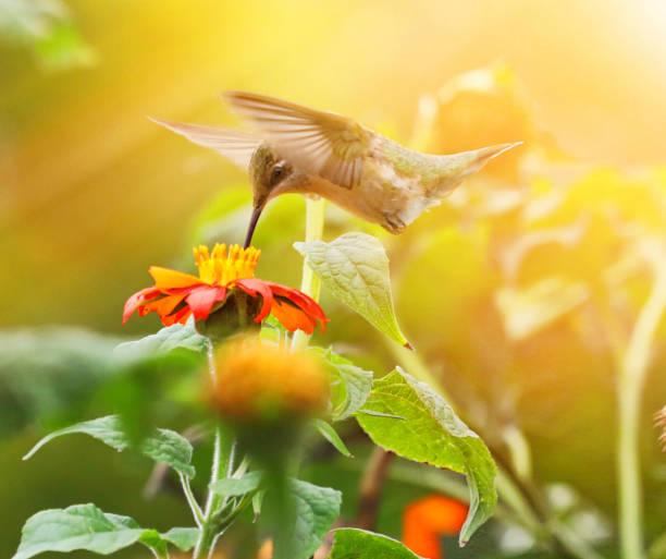 High Key Foto von Ruby-Throated Hummingbird und Zinnias – Foto
