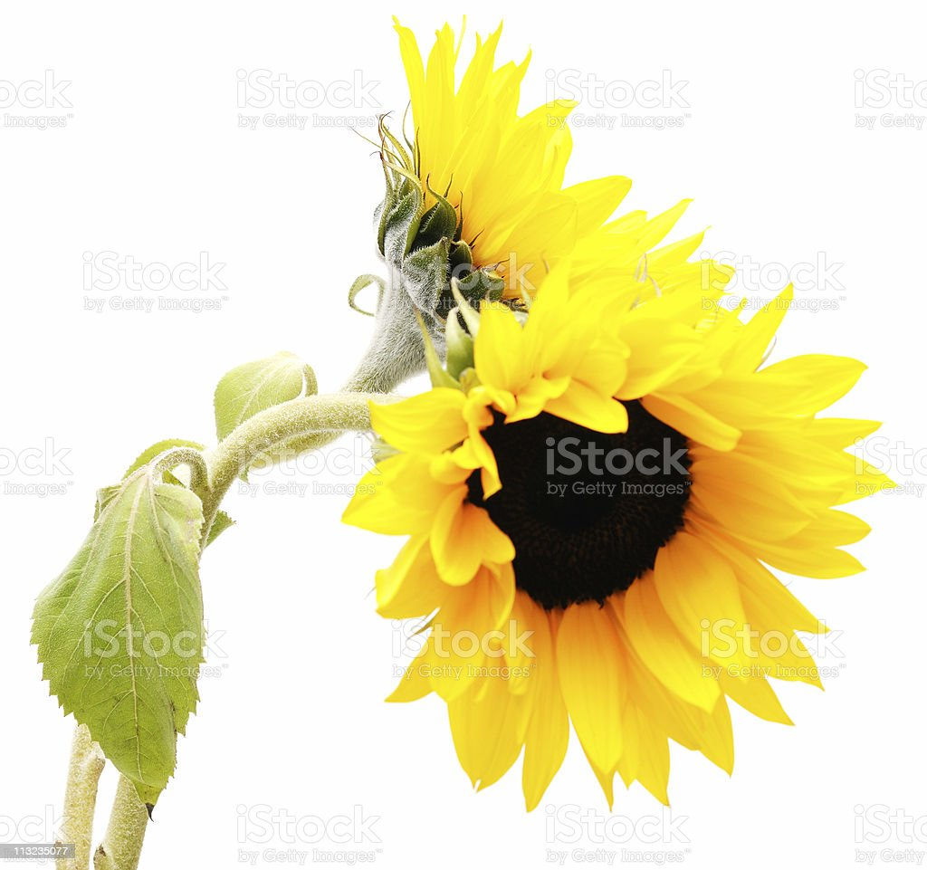 high key sunflower against white royalty-free stock photo