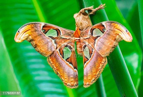 istock High moth, (Attacus atlas) 1179330132