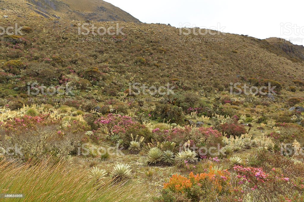 High Mountain Vegetation in Moorlands of Tachira stock photo