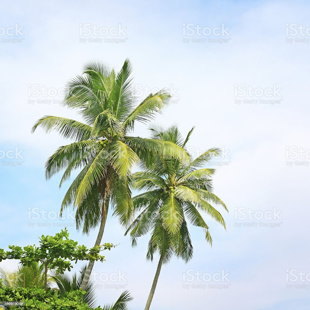 high palm on background of blue sky royalty-free stock photo