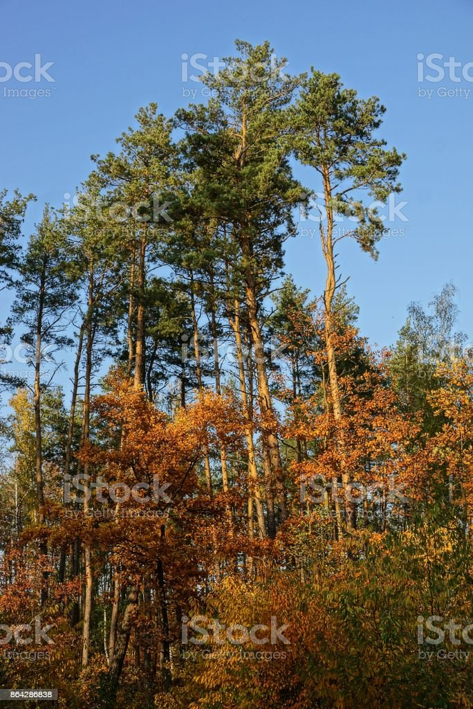 High pine trees and leafy vegetation on a sunny day royalty-free stock photo