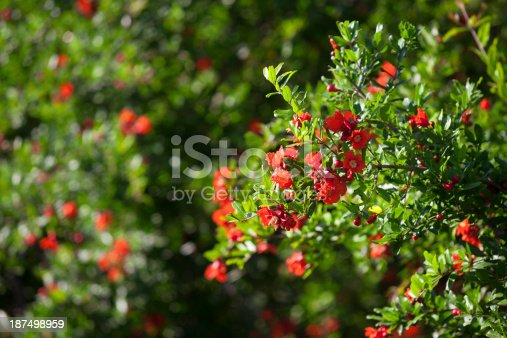 Pomegranate tree blossom