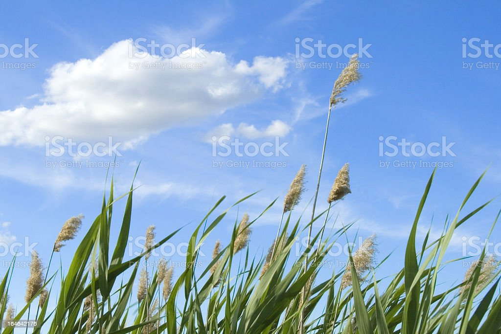 High reed against cloudy sky in wind day stock photo