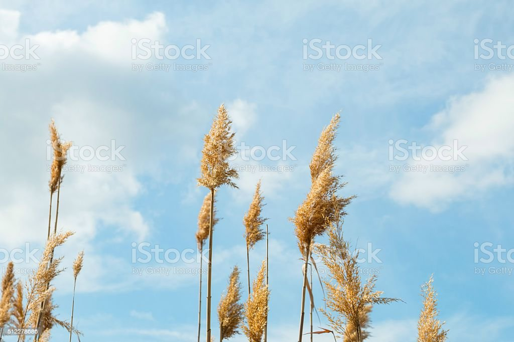 High reed. stock photo