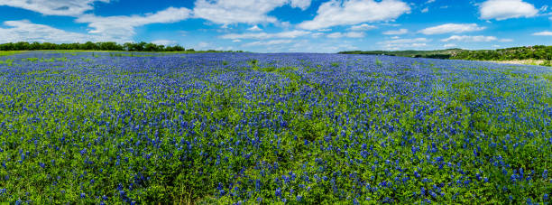 high res panorama of fields of bluebonnets at mule shoe bend, texas. - bluebonnet stock photos and pictures