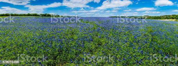 Photo of High Res Panorama of Fields of Bluebonnets at Mule Shoe Bend, Texas.