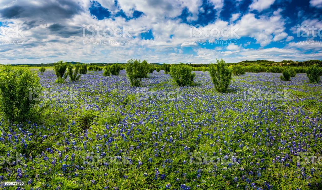 High Res Panorama of Fields of Bluebonnets at Mule Shoe Bend, Texas. A Wide Angle View of a Beautiful Field or Meadow Blanketed with the Famous Texas Bluebonnet (Lupinus texensis) Wildflowers.  An Amazing Display at Muleshoe Bend in Texas. Agricultural Field Stock Photo