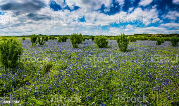 High Res Panorama Of Fields Of Bluebonnets At Mule Shoe Bend Texas Stock Photo - Download Image Now