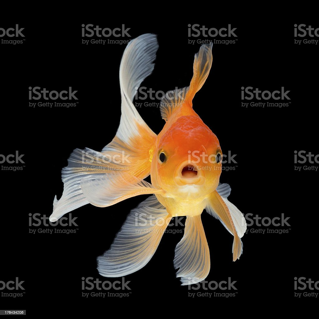 A high res picture of a orange goldfish swimming  stock photo