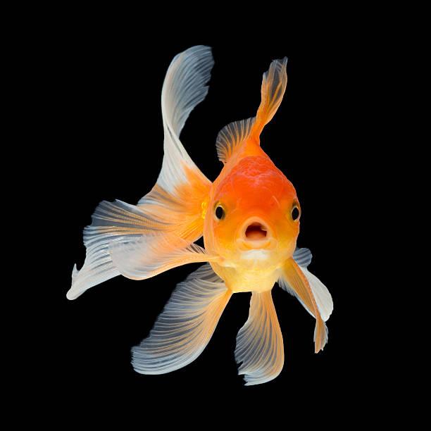 poisson rouge - poisson rouge photos et images de collection