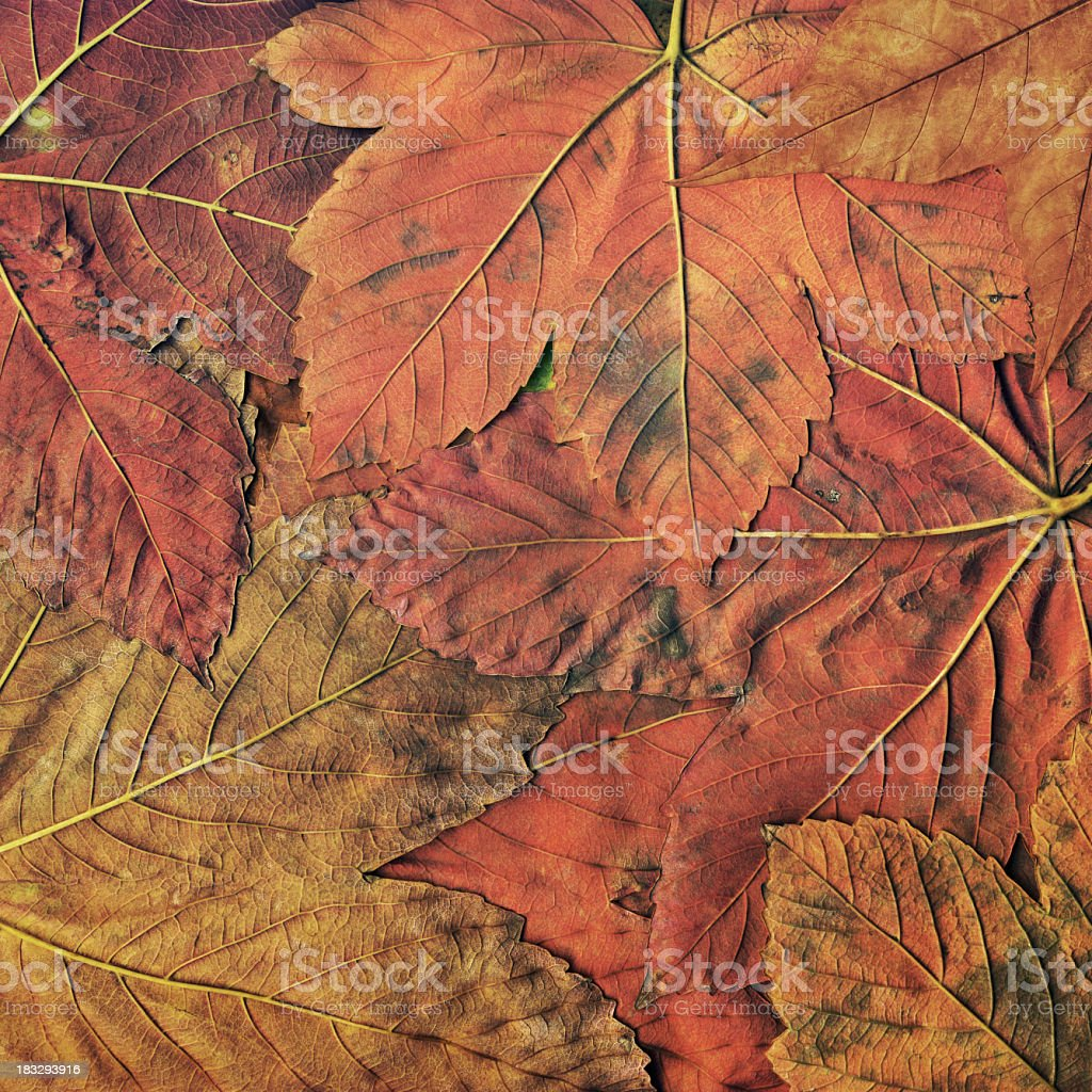 High Resolution Autumn Dry Red Maple Leaves Foliage Background royalty-free stock photo