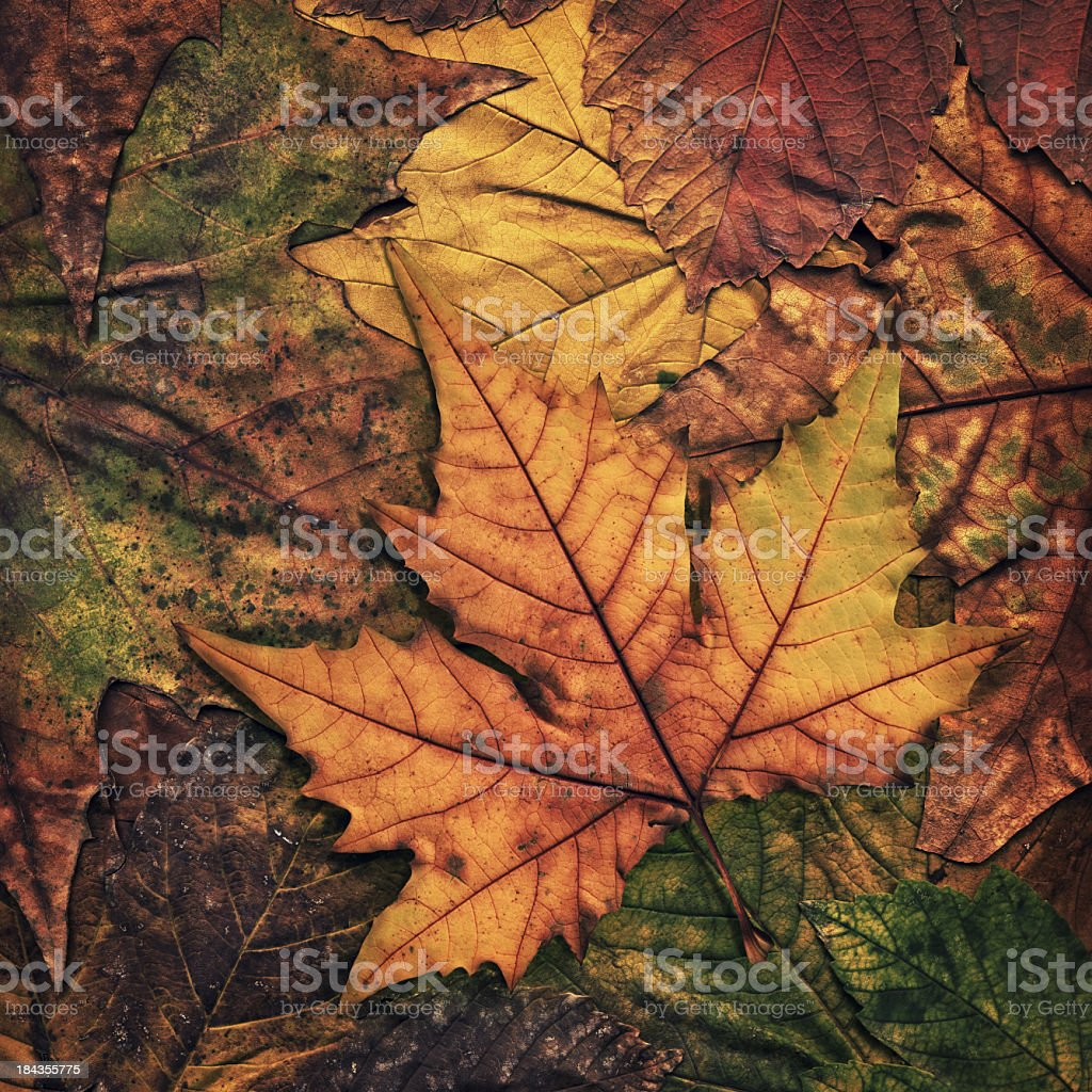 High Resolution Dry Maple Leaf Isolated on Autumn Foliage Background royalty-free stock photo