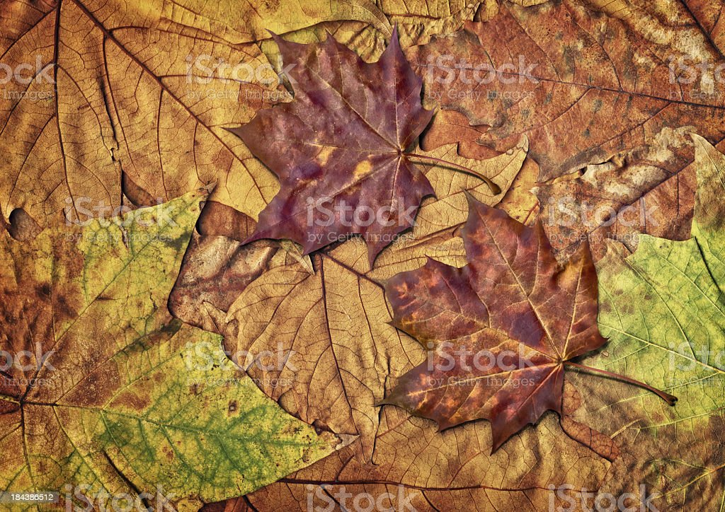 High Resolution Dry Maple Leaves Isolated on Autumn Foliage Backdrop royalty-free stock photo