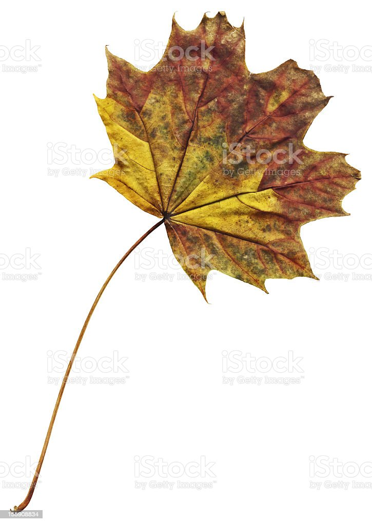 High Resolution Dry Red Maple Leaf Isolated On White Background royalty-free stock photo