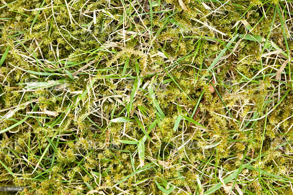 High resolution grass lawn choked by weeds and moss stock photo